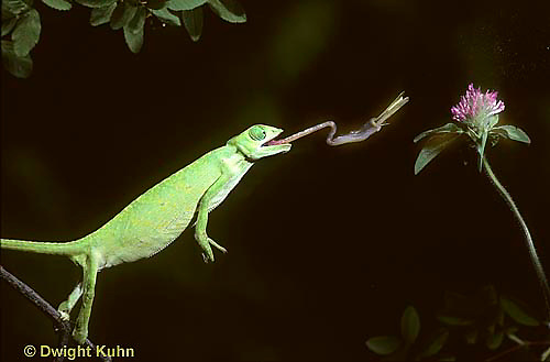 CH16-010z  African Chameleon - catching prey with long tongue - Chameleo senegalensis