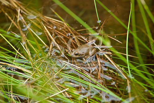 Uluru, Australia. Burrowing frog which is only seen after heavy rainfall.