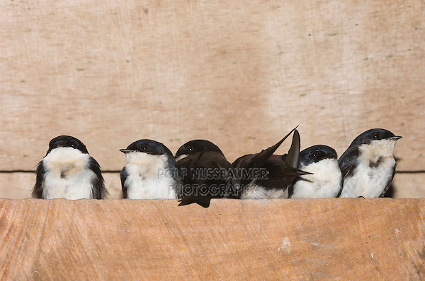 Blue-and white Swallow, Notiochelidon cyanoleuca, adults roosting in group under roof, Bosque de Paz, Central Valley, Costa Rica, Central America
