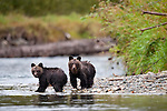 Grizzly Bear (Ursus arctos horribilis) cubs (7 months). Atnarko River, Tweedsmuir Park, British Columbia, Canada