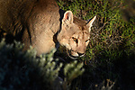 Young male puma (Puma concolor) (southern subspecies Puma concolor puma) (in N. America, cougar or mountain lion) walking on secluded hillside. Private ranch land (Estancia Amarga) on the outskirts of Torres del Paine National Park, Patagonia, Chile.