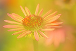 coneflower photomerge