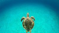 Green Sea Turtle<br /> Virgin Islands