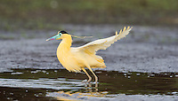 We encountered this shy Capped Heron (Pilherodius pileatus) in the early morning on the Rio Negro in The Pantanal, Brazil.  One shot and it was gone.