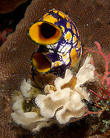 Sea Squirt from the East Timor Islands.