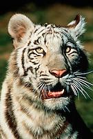Portrait of a Siberian tiger (Panthera tigris altaica).