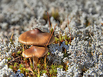 Two mushrooms in bed of caribou lichen.