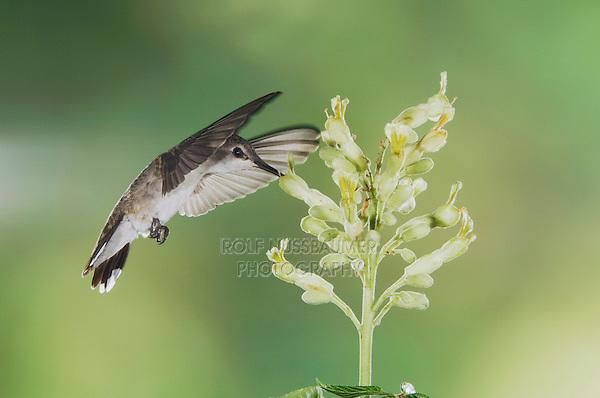 Black-chinned Hummingbird, Archilochus alexandri, female in flight feeding on Texas Buckeye (Aesculus glabra), Uvalde County, Hill Country, Texas, USA, April 2006