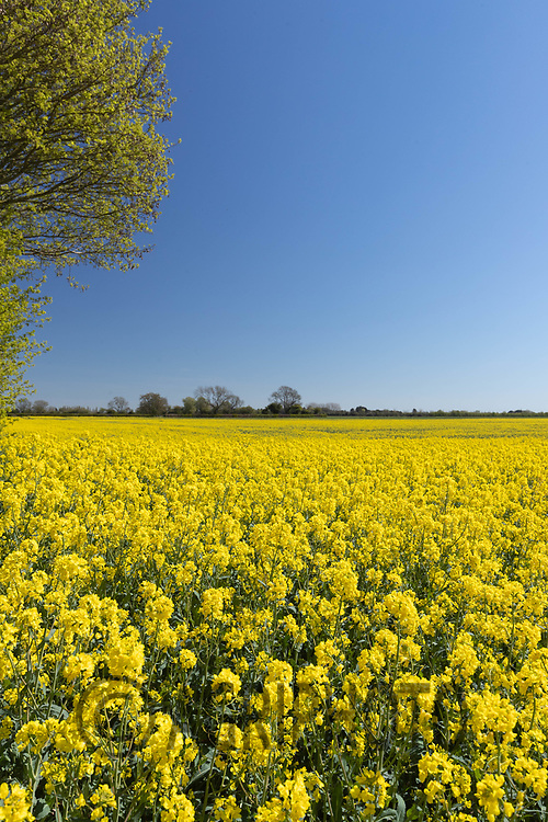 26-4-2021 Oilseed rape flowering<br /> ©Tim Scrivener Photographer 07850 303986<br />      ....Covering Agriculture In The UK....