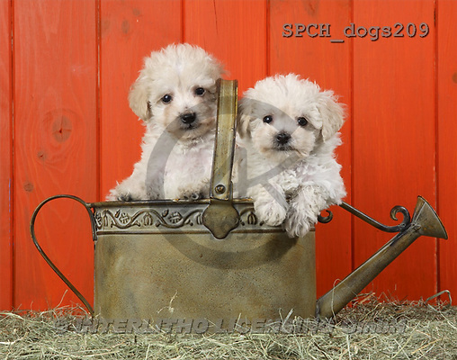 Xavier, ANIMALS, dogs, photos(SPCHdogs209,#A#) Hunde, perros