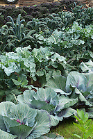 Cabbages and kales growing in vegetable garden