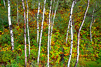 Color surrounds a small stand of Aspens in Colorado