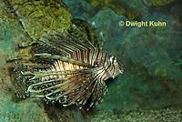 """TP03-501z  Red Volitan Lionfish """"Venomous Spines on Fish"""" - Pterois volitans"""