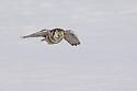 00831-007.13 Hawk Owl Surnia ulula is in flight low over snow covered meadow during winter.  Bird of prey, raptor, predator.  H3R1