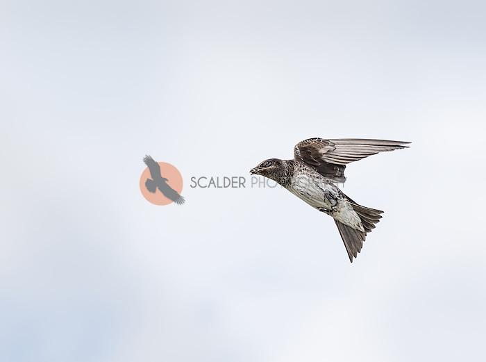 Female Purple Martin in flight with bug in beak