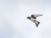 Female Purple Martin in flight with bug in beak