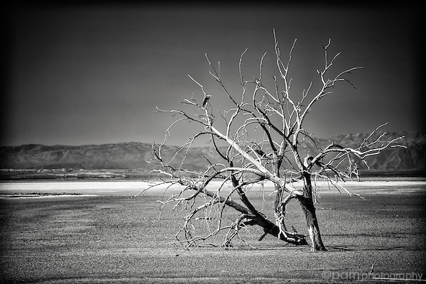 Lone dead tree in evaporated lake bed at the Red Hill Marina, Salton Sea, CA