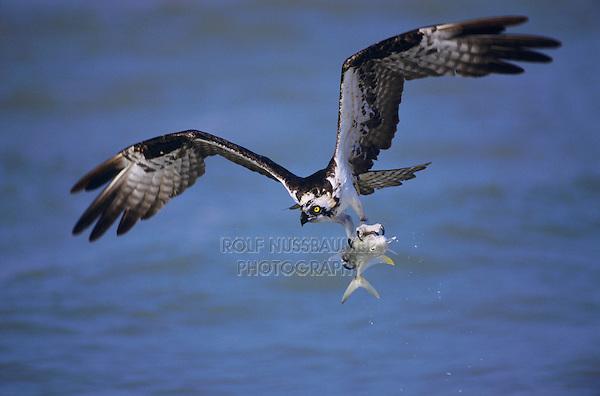 Osprey, Pandion haliaetus, adult in flight with fish prey, Sanibel Island, Florida, USA
