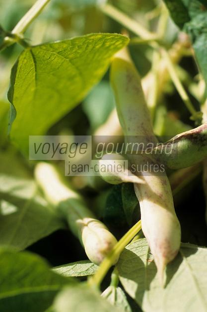 Europe/France/Bretagne/22/Côtes d'Armor/Paimpol: Haricot à maturité - AOC coco de Paimpol