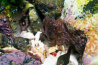 grapsoid crab, Plagusia dentipes, Izu ocean park, Sagami bay, Izu peninsula, Shizuoka, Japan, Pacific Ocean