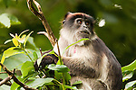 Eastern Red Colobus (Procolobus rufomitratus), tagged for research, in tree, Kibale National Park, western Uganda