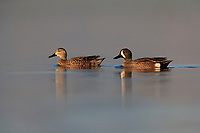 Blue-winged Teal (Anas discors), female and male at the Salton Sea State Recreation Area, Mecca, California.