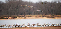 Sandhill cranes roost for the night on a sandbar in the Wisconsin River, in front of the Aldo Leopold Foundation near Baraboo, Wisconsin on Wednesday, November 22, 2016