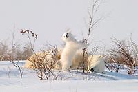 mother polar bear, Ursus maritimus, with cubs, COY, near snow den at Wapusk National Park, Hudson Bay, Churchill area, Manitoba, northern Canada, polar bear, Ursus maritimus