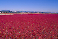 Richmond, BC, British Columbia, Canada - Harvesting Cranberries (Vaccinium macrocarpon) in Flooded Bog Field on Cranberry Farm