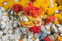 giant rock scallop, Crassadoma gigantea, encrusted with plumose anemone, Metridium senile, yellow sulfur sponge, Myxilla lacunosa, red soft coral, Alcyonium species, Browning Pass, British Columbia, Canada, Pacific Ocean