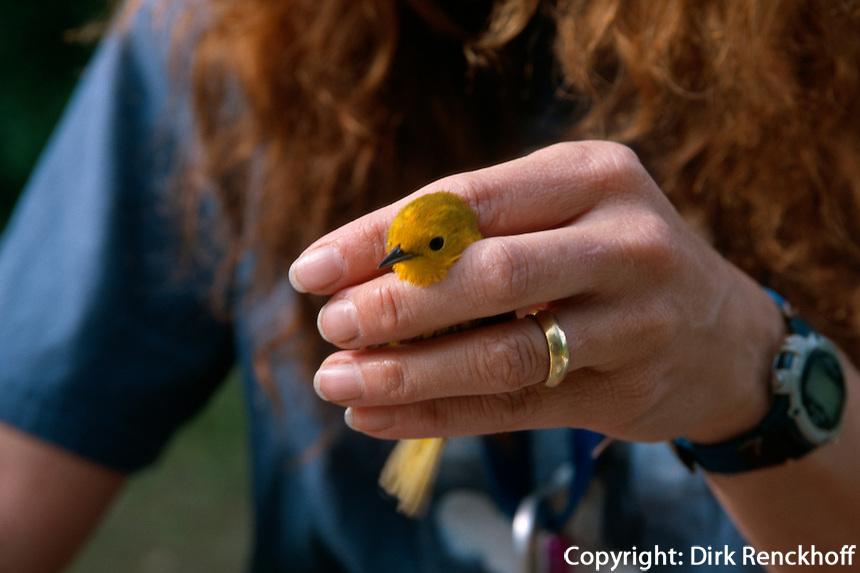 USA, Alaska, Vogelschutzgebiet Creamers Field bei Fairbanks, Beringen von Vögeln