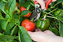 Cut sweet peppers with a sharp knife or a pair of secateurs. Leave at least 2.5cm (1in) of the stem on the fruit.