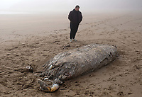 The remains of a mysterious animal have washed ashore in Broadhaven beach in west Wales, UK. Friday 26 February 2021