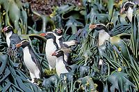 Snares crested penguins, Eudyptes robustus, amid kelp, Snare's Island, New Zealand