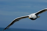 One seagull flying, Saint-Malo, Brittany, France.