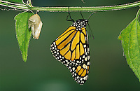 Monarch, Danaus plexippus, adult newly emerged from pupa , Willacy County, Rio Grande Valley, Texas, USA