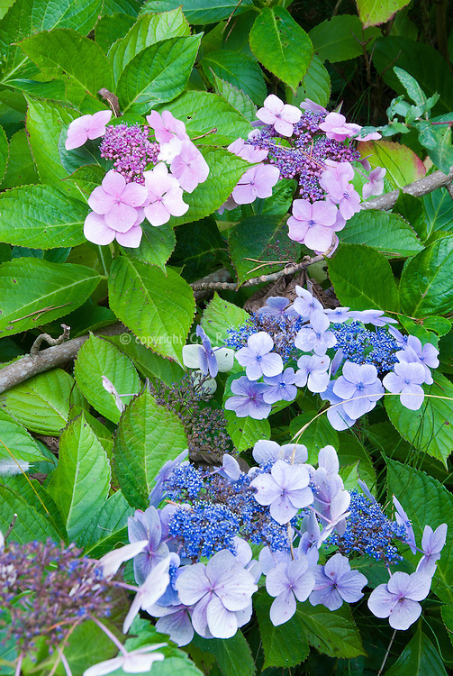 Hydrangea macrophylla lacecap type in pink and blue flowers on same plant - make one side alkaline for pink and one side acid for blue.