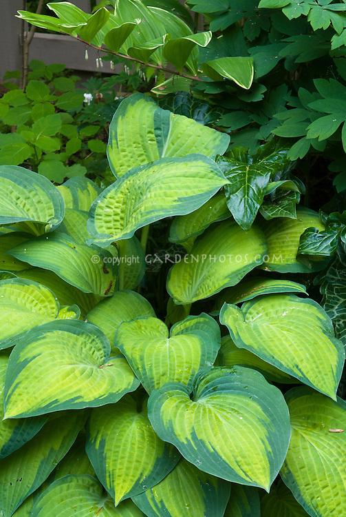 Hosta 'Midwest Magic' and Polygonatum, Arum italicum