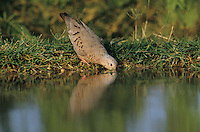 Common Ground-Dove, Columbina passerina,adult drinking, Starr County, Rio Grande Valley, Texas, USA, April 2002