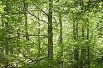 21 mayo 2015. Hayedo de Montejo, madrid. <br /> El hayedo de Montejo es un bosque de hayas de 250 hectáreas situado en las faldas de la Sierra de Ayllón y perteneciente al municipio de Montejo de la Sierra (Comunidad de Madrid, España), al norte de la provincia madrileña y al límite con la provincia de Guadalajara y el río Jarama. Fue declarado Sitio Natural de Interés Nacional en 1974, siendo uno de los hayedos más meridionales de Europa. El microclima existente en la zona debido a la captación de humedad proveniente de las masas de aire que no chocan contra la Sierra, y el hecho de que la ladera de la colina permanezca en la sombra, han hecho posible que se conserve el hayedo, procedente de Centroeuropa, existente en Montejo desde épocas postglaciales. El hayedo representa los restos de la vegetación caducifolia centroeuropea en España. Es uno de los más estudiados de la Península Ibérica, y la gran afluencia de personas ha hecho que las visitas estén restringidas. © Pedro Armestre