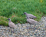 Glaucous-winged Gull chicks walk across the beach stones on Protection Island in Jefferson County, Washington looking for food.