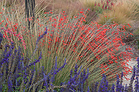 Muhlenbergia dubia (Pine Muhly) bunch grass with flowering perennials in naturalistic landscaping at U.C. Davis demonstration garden