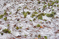 Pine Needles and Cones on Snow, Yellowstone National Park