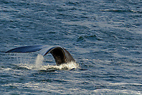 Tailfin of a Southern right whales (Eubalaena australis) - South Africa, South Western Cape, Hermanus