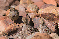 Gambel's Quail, Callipepla gambelii, young,Tucson, Arizona, USA, September 2006