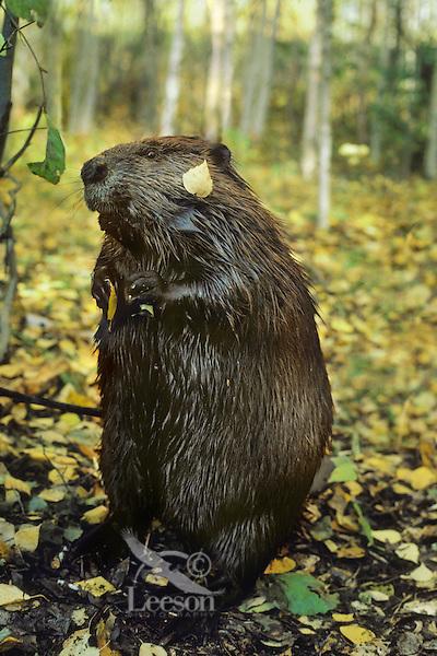 American Beaver (Castor canadensis) in aspen forest.  Fall.
