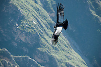 Condors start out flying around at around 10 am from the bottom of the Cocla Canyon and gradually ride the thermals up off the canyon floor. As it gets warmer throughout the day, the thermals lift the condors up and out of the lower canyon. .
