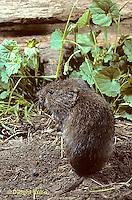 MU34-010z  Prairie Vole - Microtus ochrogaster
