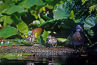 Wood Duck (Aix sponsa) hen with young ducklings among lily pads.  Pacific Northwest.  June.