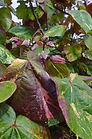 Variegated hau leaves and flower buds, Big Island.